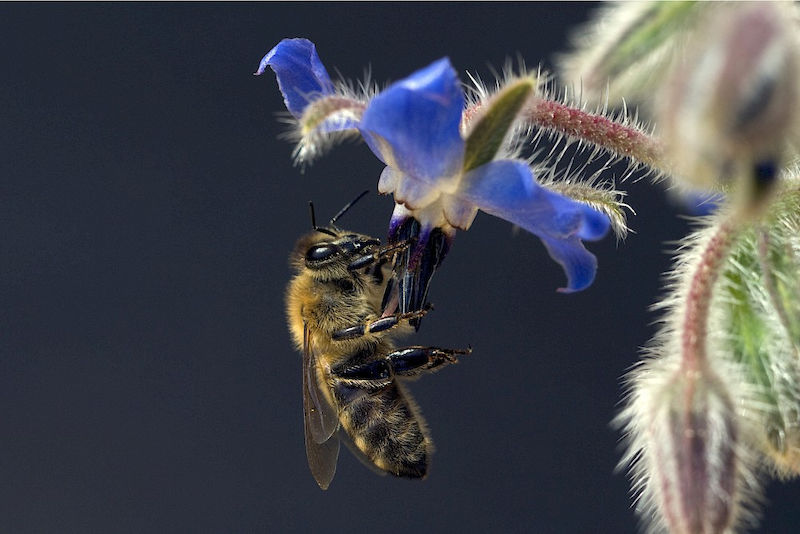 Honeybees are important pollinators.